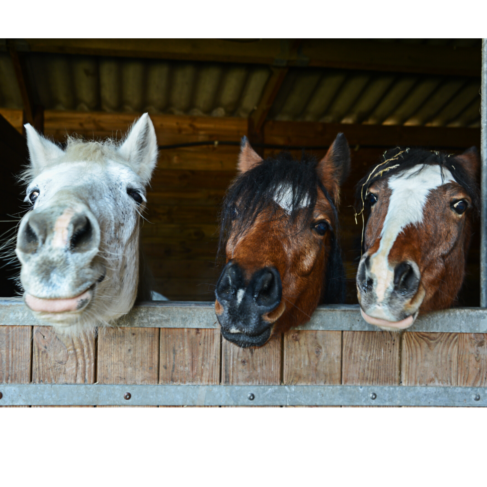 three cute horses peek out of a barn window
