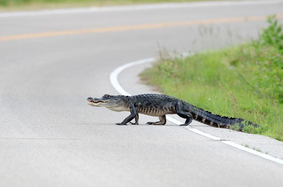 Florida Alligator Causes Fatal Highway Car Accident